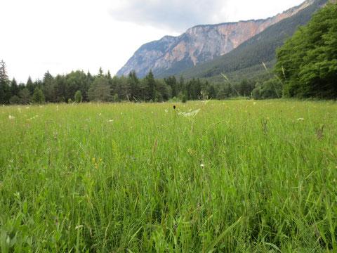 Die Gladiolenwiese, ein einzigartiges Naturjuwel am Fuße des Dobratsch