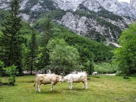 Alm, Kühe, Vratatal, Julische Alpen