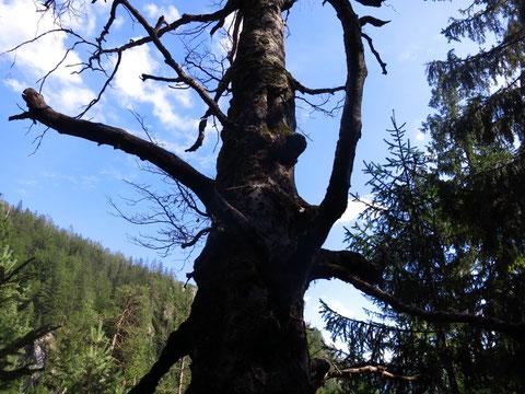 Dobratsch, Villacher Alpe, Schütt, Alpenbock