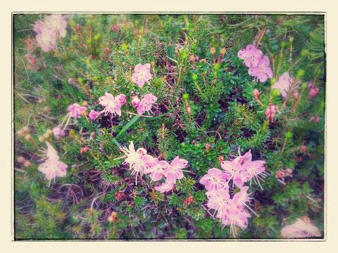 Unterwegs immer wieder wunderbare Alpen-Blumenpracht wie die Zwerg-Alpenrose