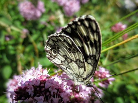 Auch abseits des Weges gibt es für den aufmerksamen Beobachter einiges zu entdecken: Ein Schachbrettfalter saugt genüßlich an einer Blüte
