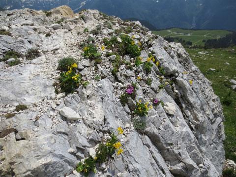Montasio, Montasch, Julische Alpen, Pecol Alm, Blumen, Felsen