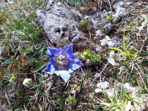 Der Alpen-Enzian (Gentiana alpina) - neben dem Edelweiss die wohl bekannteste Alpenblume