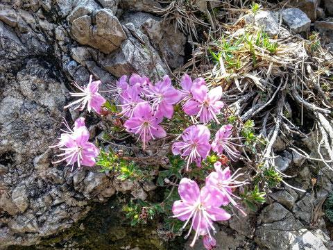Die Zwerg-Alpenrose - Sie wächst nur in den Ostalpen vom Comer See und dem Allgäu bis zu den Karawanken - man vermutet, dass sie schon seit 60 Millionen Jahren auf der Erde vorkommt
