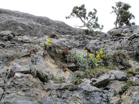 Primula auricula, Petergstamm, Felsen, Bergblume