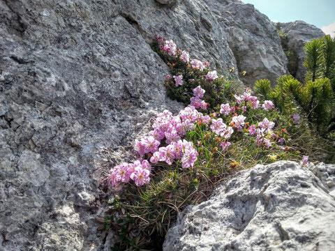 Ein herrlichers Beet Zwerg-Alpenrosen mitten im kargen Felsen