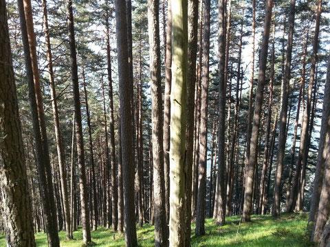 Bäume wie mit dem Lineal gezogen