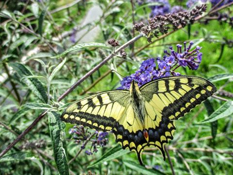 Wunderbares Exemplar vom Schwalbenschwanz (Papilio machaon) - einem der größten und auffallendsten heimischen Tagfalter