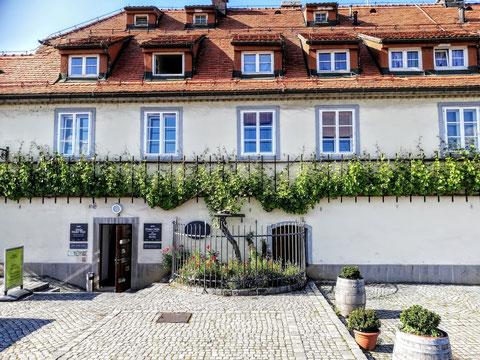Da ist sie auch schon, die Stara trta (alter Weinstock), die mit über 400 Jahren älteste Weinrebe der Welt