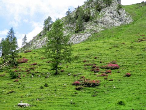 Wolayersee, Karnische Alpen, Almrosen, Alm