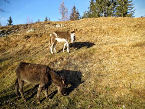 Burg Strassfried, Arnolstein, Römerweg, Thörl Maglern, Kärnten, Esel