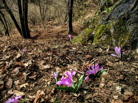 Kärntner Lichtmessblume, Lichtblume, Gerlitzen, Colchicum bulbocodium