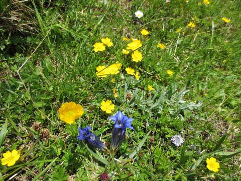 Montasio Käse, Montasch, Julische Alpen, Pecol Alm, Blumen Enzian