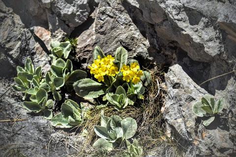 Alpenaurikel (Primula auricula), Felsen, Bergblume