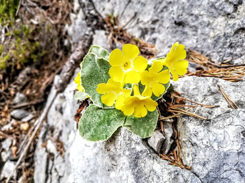 Felsen, Alpenblume, Dobratsch, Villacher Alpe