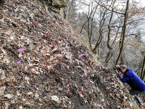 Kärntner Lichtmessblume, Lichtblume, Gerlitzen, Treffen, Colchicum bulbocodium