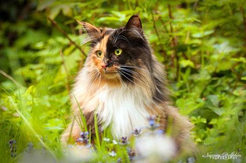 Bezaubernde Norwegische Waldkatzenbabys zu verkaufen in München, Südbayern