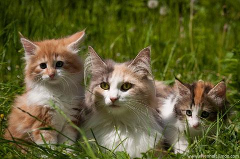 Norwegische waldkatzenzucht in Bayern, München, Kitten abzugeben, Hobbyzucht, züchter von Norwegischen waldkatzen