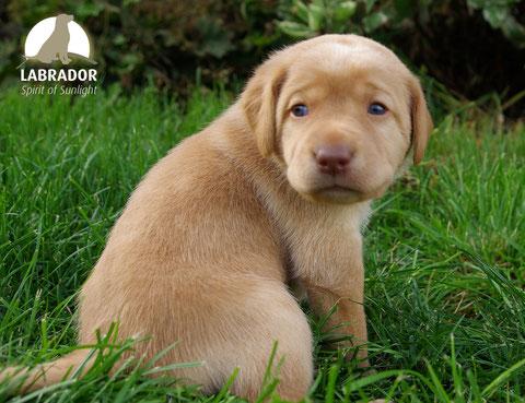 Labrador Blond Gelb