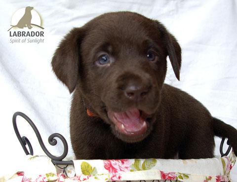 choco Labrador