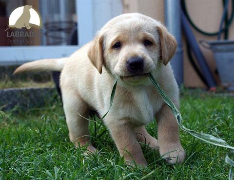 Labrador arbeitslinie