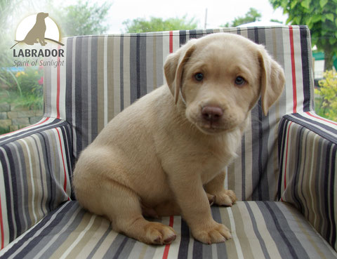 Labrador arbeitslinie charcoal champagner