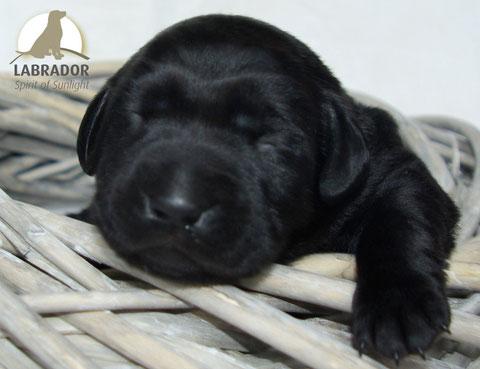 Labrador choco schwarz