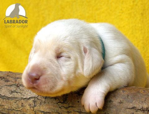 champanger Labrador