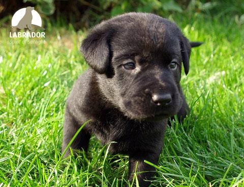 Labrador schwarz