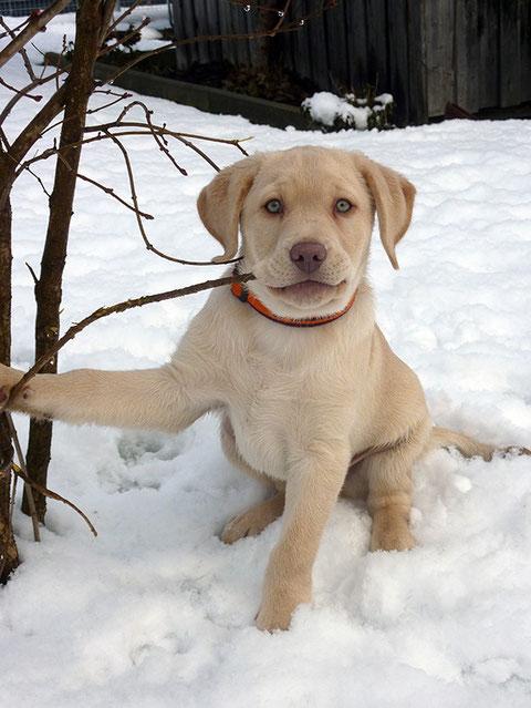 Labrador arbeitslinie champagner Labrador