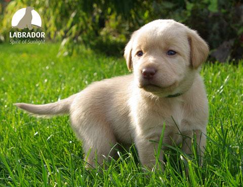 champagner Labrador
