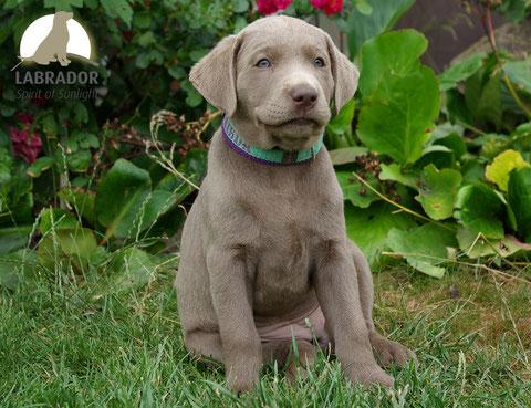 silber Labrador