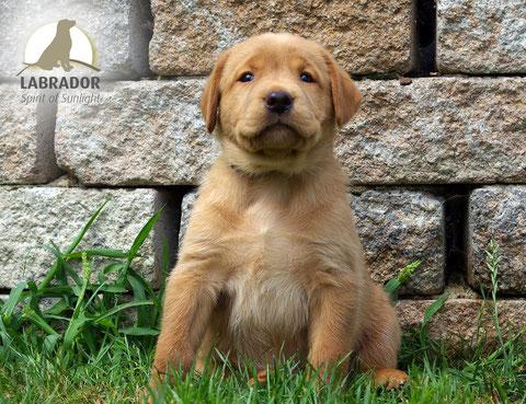 Labrador arbeitslinie foxred