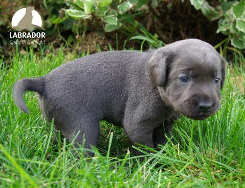 charcoal Labrador