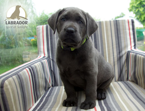 Labrador charcoal champagner