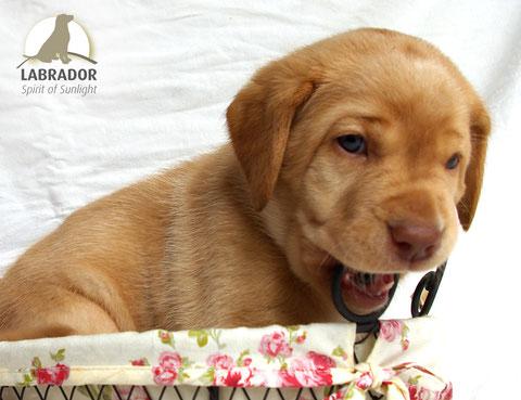 foxred Labrador