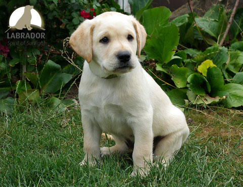 Labrador champagner