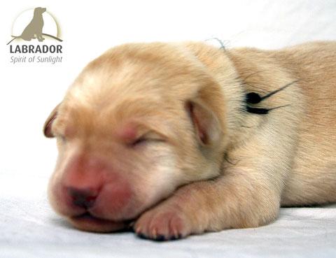 Labrador choco
