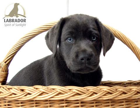 Labrador Welpen Silver Silber Charcoal
