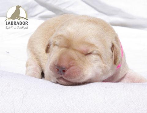 Labrador charcoal silber