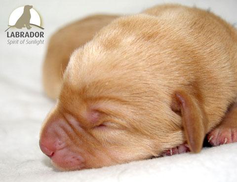 Labrador Foxred