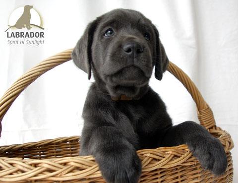 Labrador Welpe Silber Charcoal