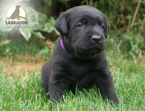Labrador charcoal silber schwarz Arbeitslinie