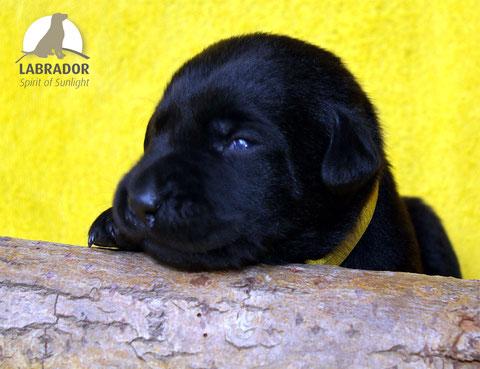 Labradorwelpen schwarz