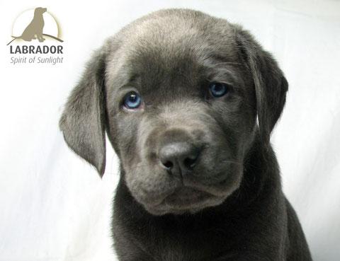 Labrador arbeitslinie charcoal
