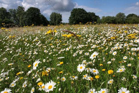 Die im Rahmen des Kindheitswiesen-Projektes eingesäte Fläche an der Sieg in Müllekoven steht im Juni in voller Blüte; sie wird im Rahmen des Vertragsnaturschutzes von einem örtlichen Landwirt gemäht.