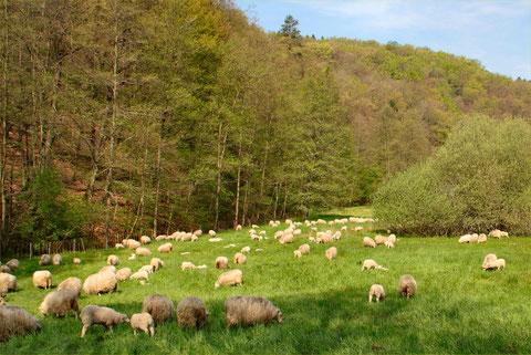 Unsere Moorschnucken weiden auf zahlreichen Flächen in Natur- und Landschaftsschutzgebieten im Rhein-Sieg-Kreis