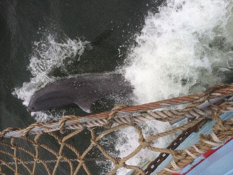 Delphine begleiten uns in der Flensburger Förde am 15.02.2016
