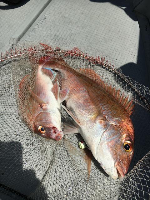 魚を掛ければ一つのテンヤでダブルゲット!(笑)素晴らしい!(^^♪
