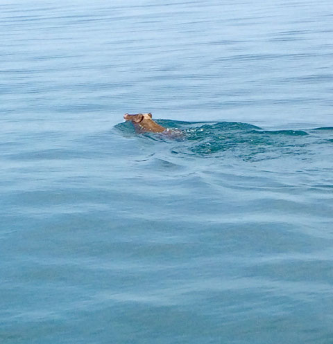 今日は珍しい方(猪)が海水浴しておりました(^^)/